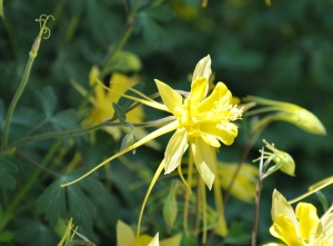 YellowColumbine-04_2010-01