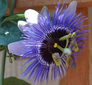 PassionFlower copy-2