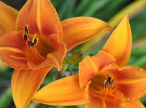 OrangeLilies-02 copy