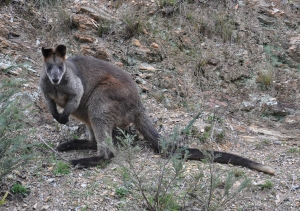 Wallaby-01 copy