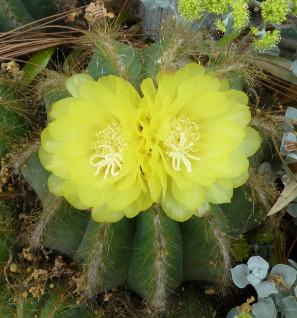 YellowCactusFlower copy