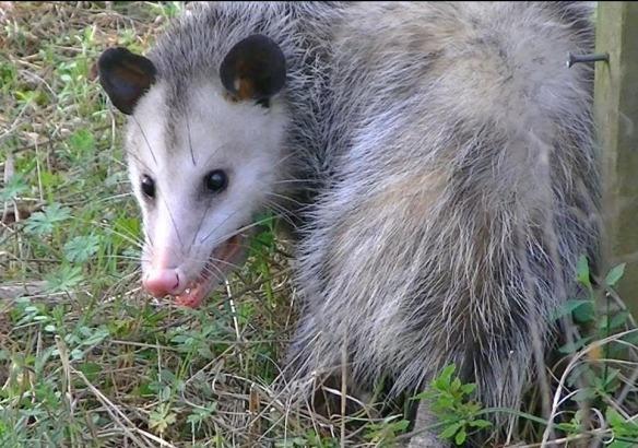 Possum-2